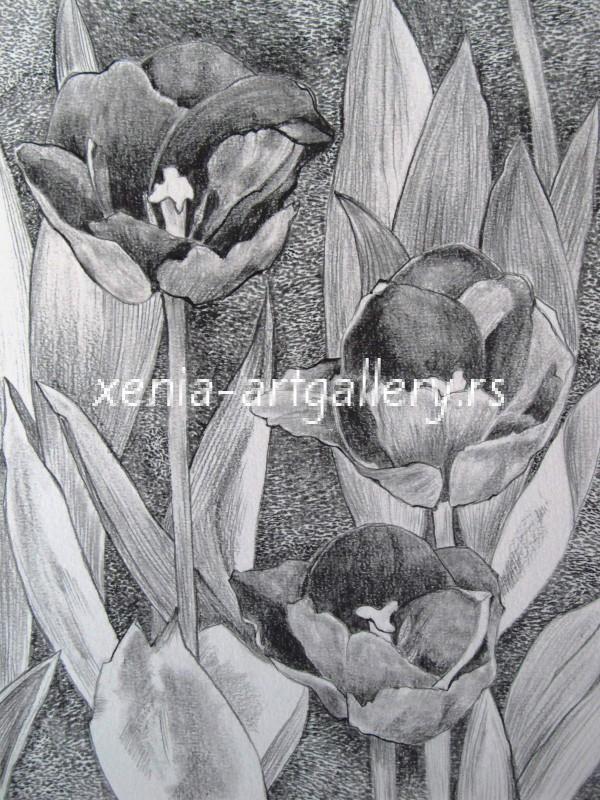 12 Tulipa, grafitna olovka, papir 18x23,5 cm