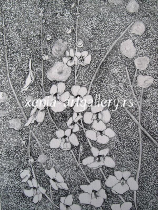 13 Diascia, grafitna olovka, papir 18x23,5 cm