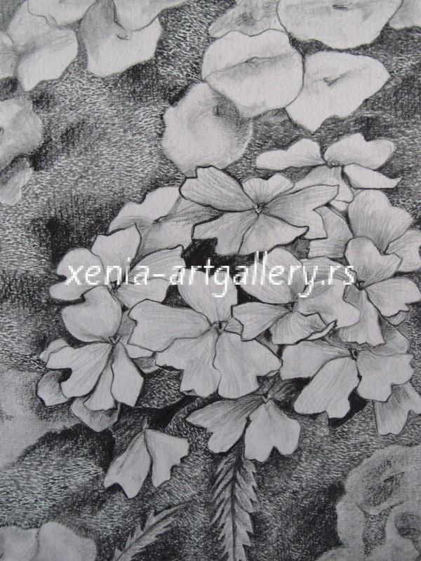 15 Verbena, grafitna olovka, papir 18x23,5 cm