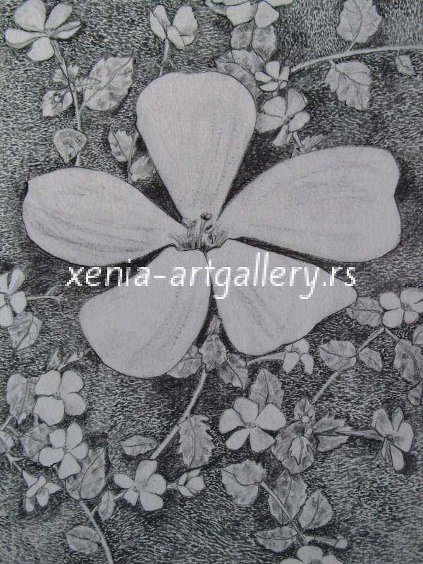 16 Suetera diffusa, grafitna olovka, papir 18x23,5 cm