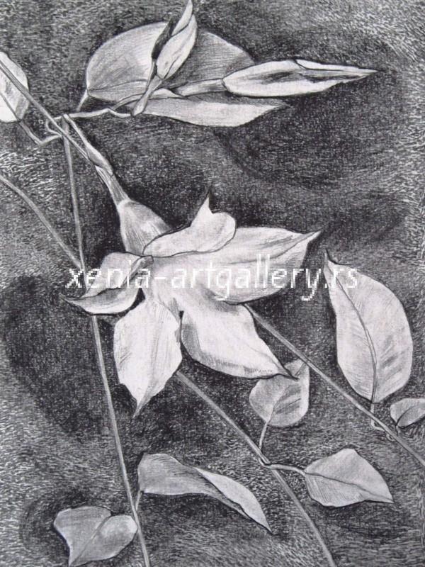 17 Mandevilla, grafitna olovka, papir 18x23,5 cm