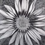 19 Gazania, grafitna olovka, papir 18x23,5 cm