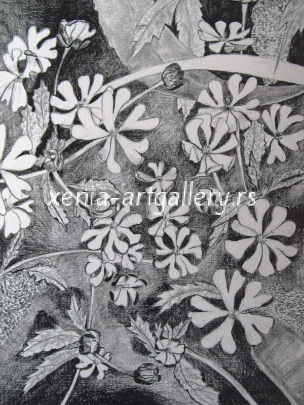 2 Zaluzyanskia, grafitna olovka, papir 18x23,5 cm
