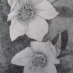 20 Helleborus niger, grafitna olovka, papir 18x23,5 cm