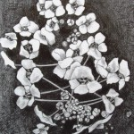 23 Alisum, grafitna olovka, papir 18x23,5 cm