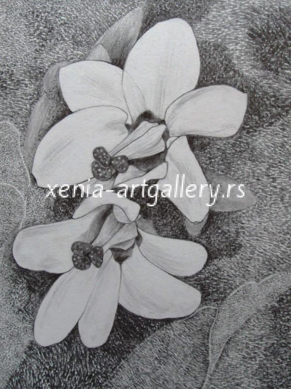 24 Bergenia,pencIl, paper 18x23,5 cm