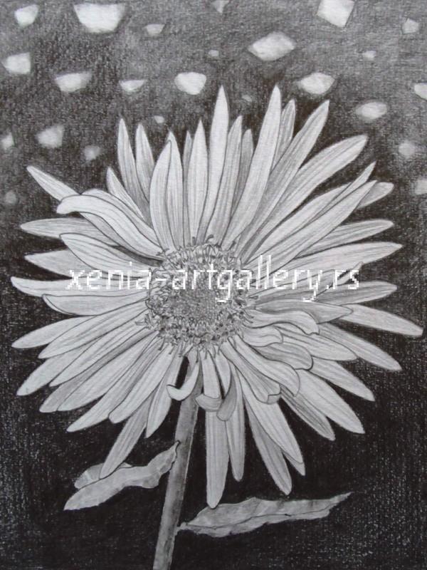 25 Aster, grafitna olovka, papir 18x23,5 cm