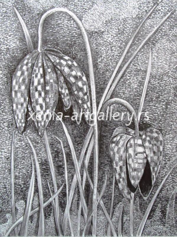 26 Fritillaria, grafitna olovka, papir 18x23,5 cm