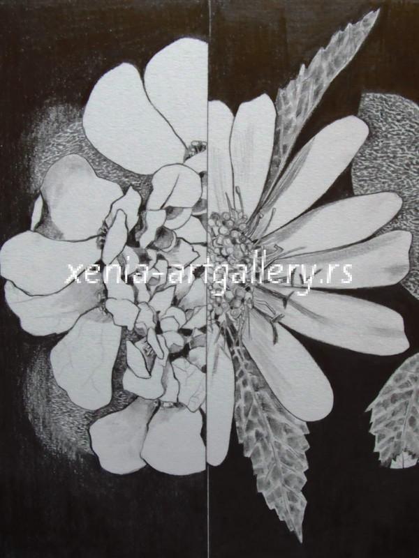 27 Iberis & Sanvitalia, grafitna olovka, papir 18x23,5 cm