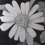 5 Sanvitalia, grafitna olovka, papir 18x23,5 cm