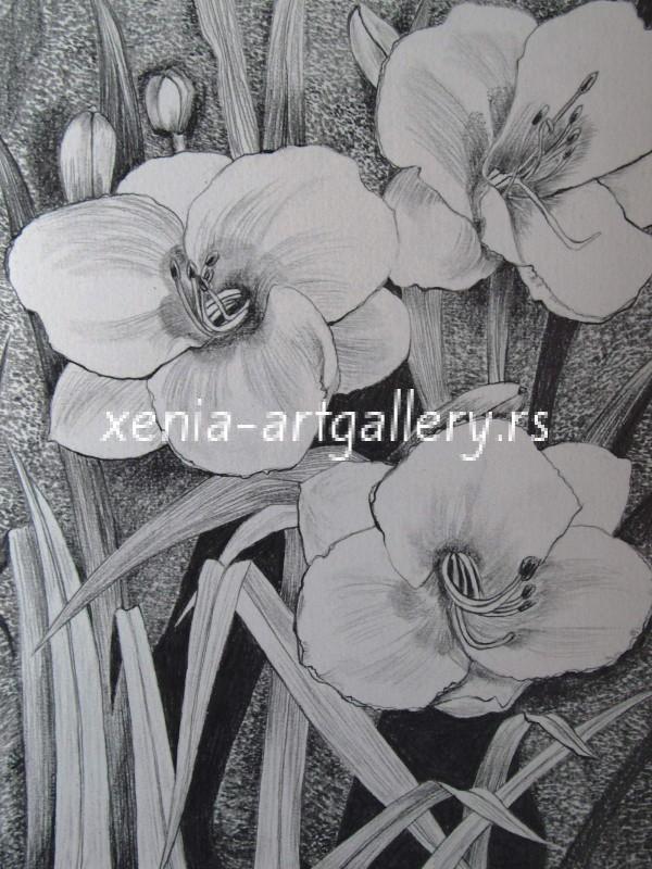 6 Hemerocallis, grafitna olovka, papir 18x23,5 cm
