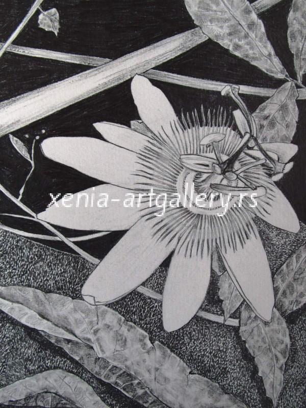 7 Passiflora, grafitna olovka, papir 18x23,5 cm