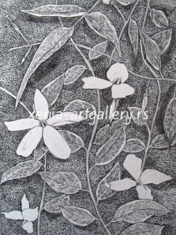 8 Jasminum, grafitna olovka, papir 18x23,5 cm