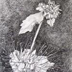 Caryopteris, grafitna olovka, papir 21x15 cm