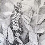 Clethra, grafitna olovka, papir 21x15 cm