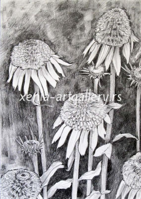 Echinacea, grafitna olovka, papir 21x15 cm