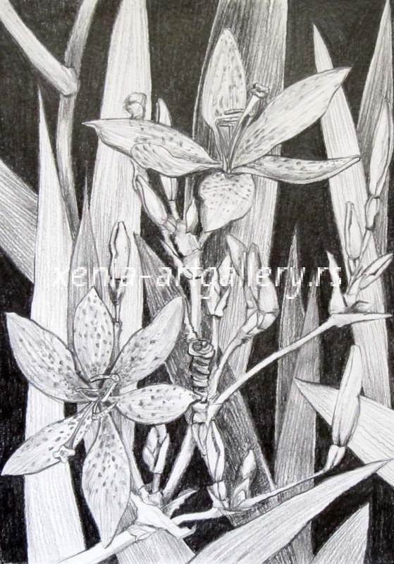 Iris, grafitna olovka, papir 21x15 cm