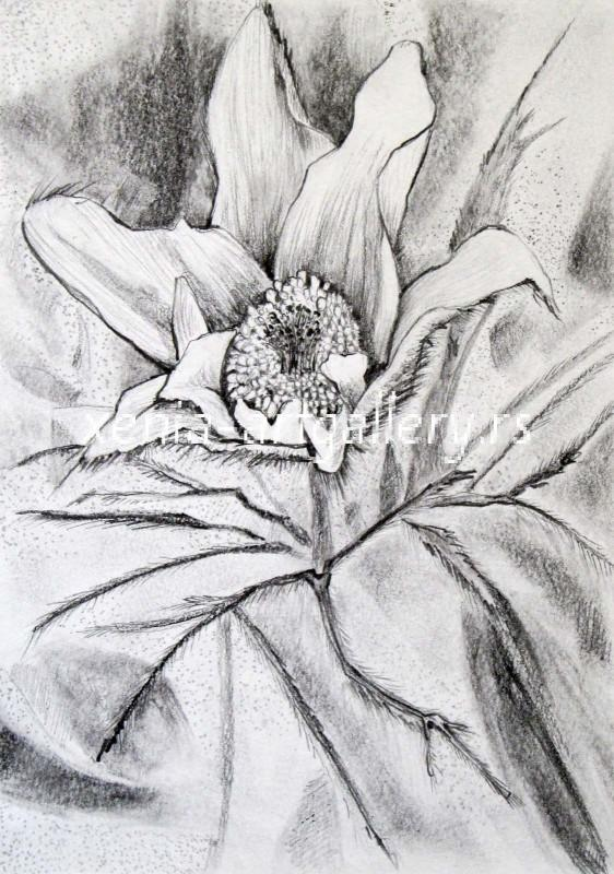 Pulsatilla, grafitna olovka, papir 21x15 cm